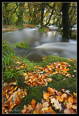 Golitha Drifting (Joe Rainbow) Tags: autumn trees leaves woodland river landscape leaf moss roots autumnal flooded golitha golithafalls fbdg