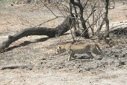 Leopard in stalking mode - Selous GR, Tanzania