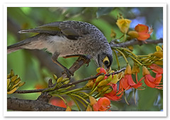 Noisy Miner-6639 (Barbara J H) Tags: birds australia qld sunshinecoast nambour noisyminer australiannativebird manorinamelanocephala castanospermumaustrale noisyminerbird barbarajh australiafauna quotapark blackbeanflowers