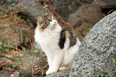 "My Manx Cat ""Bunny Butt"". (AppleBlossom12) Tags: pet cold cute fall beautiful animal cat canon fur outdoors nice furry kitten feline pretty fuzzy sweet gorgeous adorable kitty fluffy dslr manx sigma18250 rebelxsi"