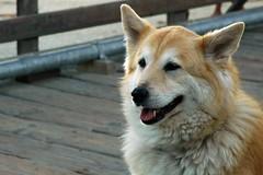 Candid Beauty (John 3000) Tags: pets dogs animals goldenretriever portraits mutt retratos chow perros animales mixedbreed mascotas