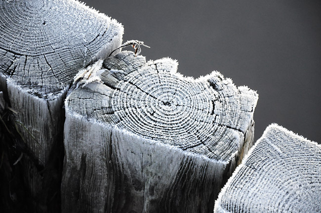 tidens trä
