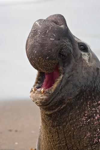 フリー画像| 動物写真| 哺乳類| アザラシ| ゾウアザラシ| 叫ぶ|      フリー素材|