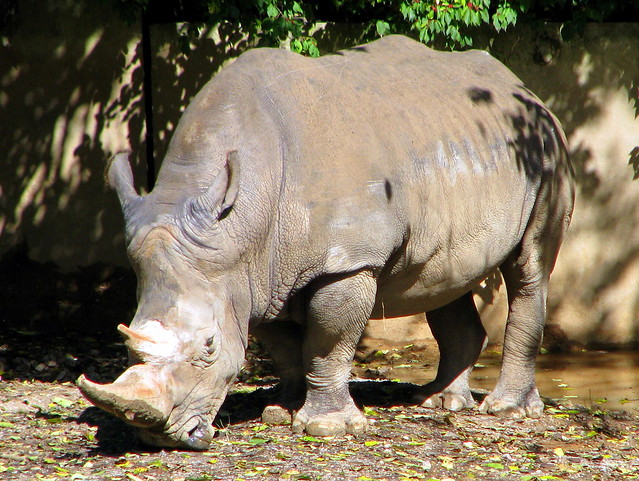 Rhinoceros - Knoxville Zoo
