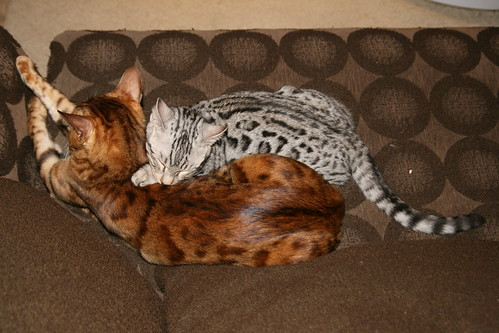 How big are bengal cats full grown