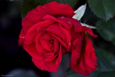 My Daughter's Rose (raisinsawdust - (aka: withaneyephotography)) Tags: red flower beautiful rose scarlet petals nikon tennessee rosebush 2011 d90 richcolors nikond90 daughtersrose