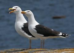 Mr. & Mrs. (Karen_Chappell) Tags: ocean blue sea white canada black bird nature newfoundland seagull gull atlantic nfld seabird greatblackbackedgull