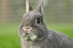 2011 06 13_bunnies  6-13-2011_4768 (sensitivebunnyguy) Tags: bunnies rabbits lopear bunnyrabbit houserabbits netherlanddwarf cutebunnyphotos