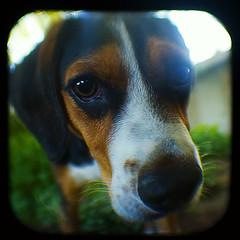 Knick-Knack (Friendly Joe) Tags: dog beagle dawg hound harvey mrsmith ttv throughtheviewfinder anscoflexii