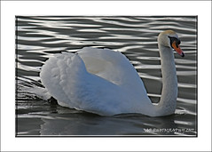Mute Swan (Cygnus olor) (prendergasttony) Tags: elements bird swan mute avian outdoors nature water nikon d7200 reflection calm regal light shadows cygnus olor neck beak orange gliding lancashire wildlife majestic february cold winter