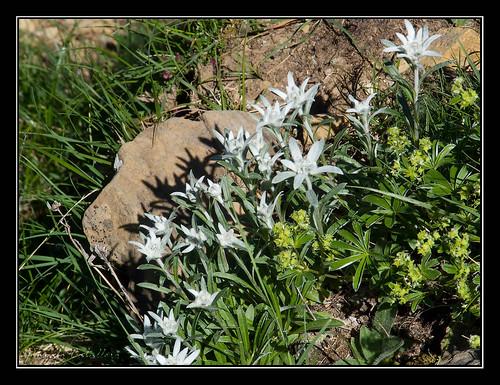 Ordesa - Edelweiss (II)