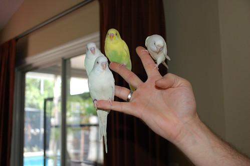 Parakeet training, budgie training, parrot training