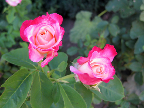 MIL_Roses