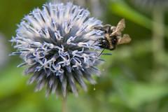 Parc Floral - Vincennes-13 (MissDogo) Tags: paris macro fleur closeup parc insectes vincennes chardon parcfloral bourdon proxyphoto hym hyménoptères hymnoptres