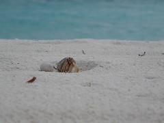 Hermit Crab. (beatrizgg) Tags: summer beach crab playa panasonic verano maldives hermit cangrejo maldivas lhaviyaniatoll ermitao fz18 kanuhurahotel