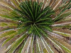 Smushed Palm (Reinalasol) Tags: trees favorite plant tree nature leaves composition outdoors flora flickr favorites fave foliage april faves panama 2009 april2009 panama2009 reinalasol