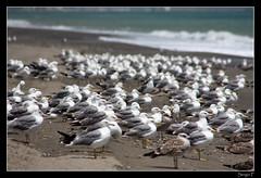 Gaviotas Lindas Gaviotas (SerYey_ ( Sergio Franco )) Tags: mar playa pajaros gaviotas muchas posado muchos seryey sergiofranco wwwsergiofotografiacom