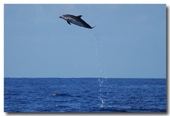 Stenella frontalis (PedroMadruga) Tags: ocean sea wild mammal wildlife pico d200 azores aores golfinho cetaceo cetacean tonina openocean toninha spotteddolphin pedromadruga southofpico toninhamansa suldopico golfinhopintado