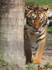 Vindo em minha direo (annuseck) Tags: zoo felino zoolgico santacatarina tigre pantheratigris pomerode flickrbigcats zoolgicodepomerode
