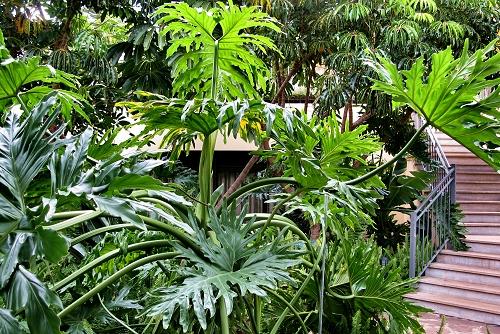 Philodendron bipinnatifidum (rq) - 02
