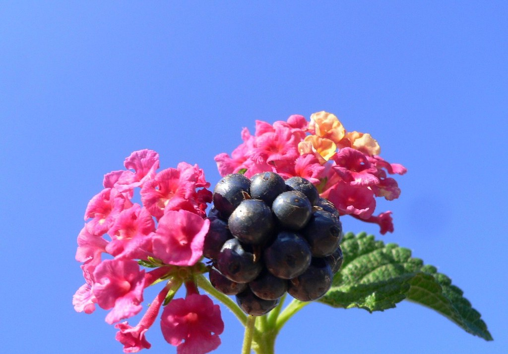 "Flowers and seeds of ""Lantana"""