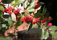 Red Berries