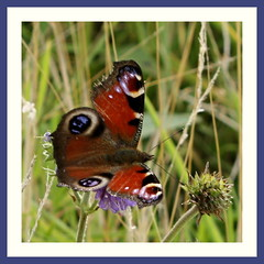 Peacock (Inachis io) (Mac ind g) Tags: summer holiday beach fauna butterfly insect walking scotland framed peacock moray findochty banffshire