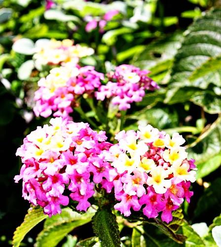 smflowers006