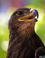 Aguila / Arrano / Eagle (Asi75er) Tags: portrait bird nature canon eagle flight ave pajaro bizkaia euskalherria euskadi basquecountry paisvasco aguila feriamedieval cetreria arrano specanimal 400d canoneos400d vizacaya 100arzorlessthan500crazycomments