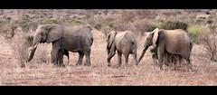 hup 2-3-4... (Cchrissy55) Tags: africa kenya safari elephants