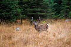 Glen Etive Deer (CarlukeDave) Tags: mountains highlands stag massacre wildlife glen deer glencoe loch moor campbells macdonalds etive rannoch
