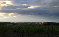 Vineyard (Raikyn) Tags: sunset newzealand nz hawkesbay