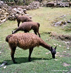"Three lamas in a row • <a style=""font-size:0.8em;"" href=""http://www.flickr.com/photos/44019124@N04/4125607314/"" target=""_blank"">View on Flickr</a>"