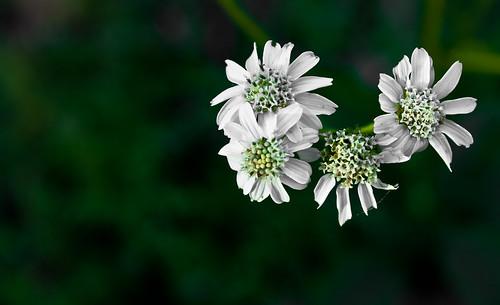 White Flowers - 168/365 - 23 November 2009