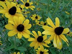 (c.marie photographyy) Tags: flowers yellow blackeyedsusan
