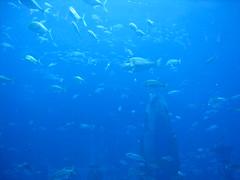Atlantis acquarium, Dubai (wrightrkuk) Tags: blue dubai gulf acquarium resorts unitedarabemirates underwaterworld tropicalfish jumeirah arabiangulf persiangulf marinelife lostworld acquariums holidayresorts arabianpeninsula palmjumeirah artificialislands lostchambers