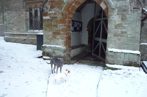 whippet in snow