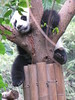 This panda appears to be stuck but…