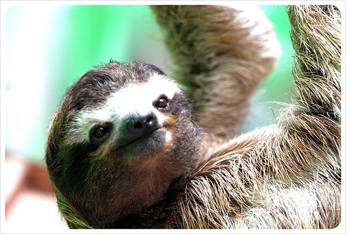 friendly sloth in Monteverde Costa Rica