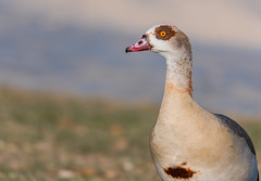 Egyptian Goose  |  Nilgans (CJH Photographic) Tags: egyptiangoose egyptian goose nilgans gans portrait river nikon d500 nikond500 peakdesign pd peakdesignstrap peakdesignslide social flickr share europe eu deutschland germany de luxembourg lu telephoto 300mm pf f4 300mmf4 300f4 nikkor pfedvr natural nature outdoor outdoors animal wild wildlife bird vogel vögel wing feather avian water bokeh