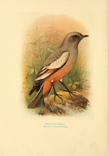 019- Chocolate atrapamoscas-Birds of La Plata  1920
