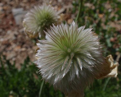 Western Pasque Flower Seedhead 01