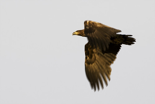Haförn (White tailed eagle)