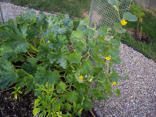 Cantaloupe Plant in My Garden July 2009