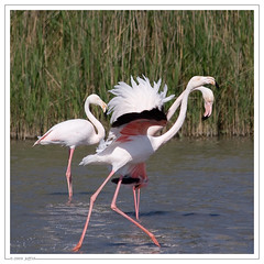 Bagarre de Flamants Rose (Jeff-Photo) Tags: wild france animal rose flamingo flamingos greater camargue flamant phoenicopteridae phoenicopterus roseus fenicottero rosaflamingo