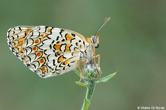 Melitaea phoebe (Matteo Di Nicola) Tags: wild summer macro nature colors closeup butterfly ticino wings nikon estate july natura lepidoptera phoebe wilderness tamron 90mm 90 lombardia 2009 farfalla manfrotto selvatico luglio nymphalidae digitalcameraclub selvatica lepidottero melitaea melitaeaphoebe ninfalide matteodinicola wwwmatteodinicolacom wwwmatteodinicolainfo