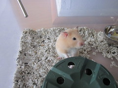 He was such a happy little boy! (Chiot D'amour) Tags: pet cute animal cutie potato hamster hammy hamham syrian hammie