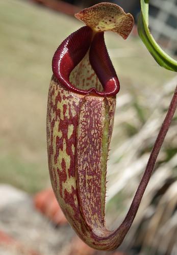 "Nepenthes Maxima ""Dark"" x Talangensis"