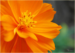 Orange Burst (Douano) Tags: orange flower orangeflower dandee nikond60 platinumheartaward awesomeblossoms platinumpeaceaward douano
