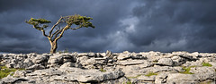 nationalpark yorkshire windswept points threepeaks karst clapham hawthorn lonelytree 76 yorkshiredales ingleton ingleborough limestonepavement 76points abigfave top20tree anawesomeshot theunforgettablepictures twisletonscar twisletonscarend